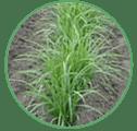 chufa-cultivo